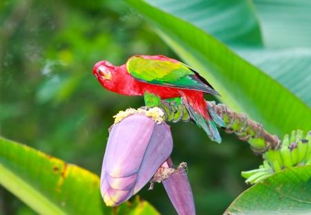 comiendo platano: Macaw comer flor de pl�tano Foto de archivo