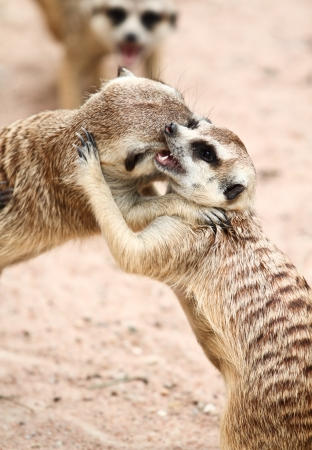 Meerkat play fighting  photo