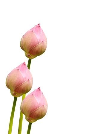 Pink lotus isolated on white background photo
