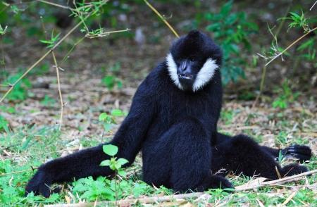 gibbon: White cheeked gibbon Stock Photo
