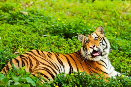 Bengal tiger Stock Photo - 16419092
