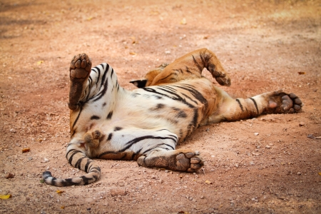 Tiger relaxed on field