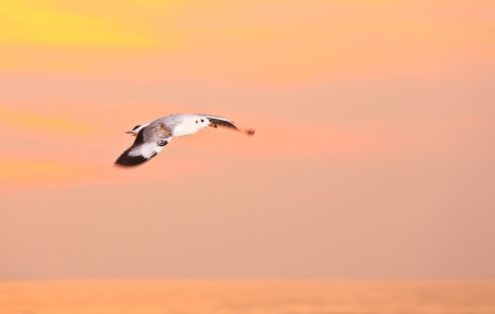 Flying seagull with evening light background Stock Photo