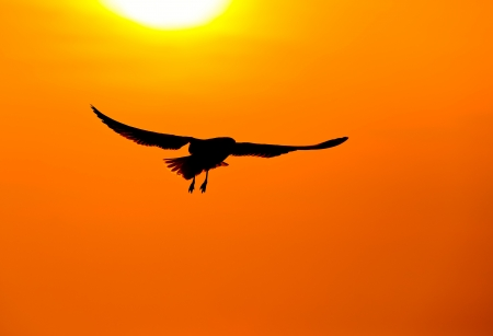 Silhouette of flying seagull  with sunset photo