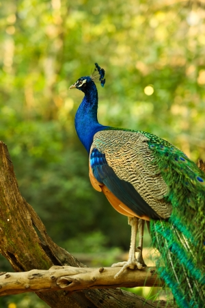 blue peafowl: Peacock on branch