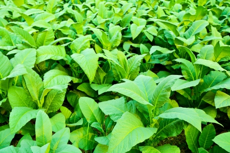 Tobacco plant photo