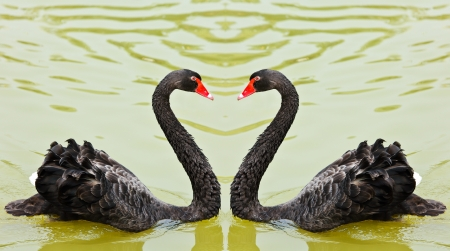 Two black swans romantically together creating a heart shape on the lake  photo