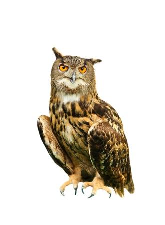 Owl isolated on white photo