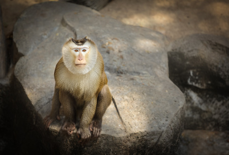 Pig-tailed macaque photo