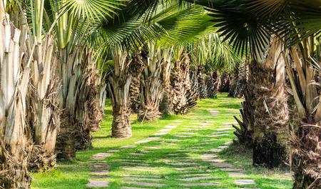 palm garden: Pathway in palm garden