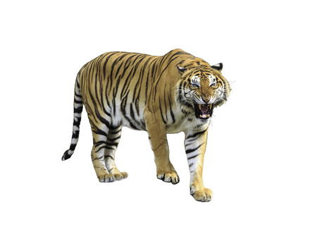 tigress: Siberian tiger isolated on white with clipping path
