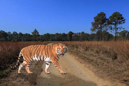 siberian tiger: Siberian tiger