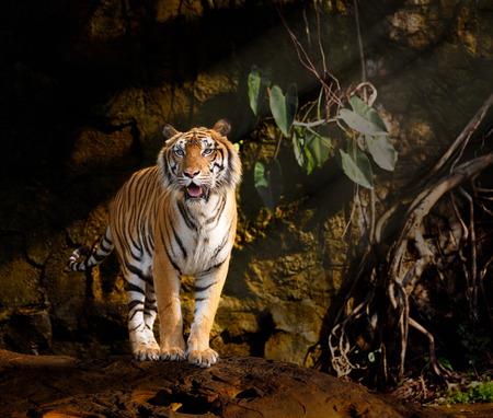 tigresa: Siberian Tiger  Foto de archivo