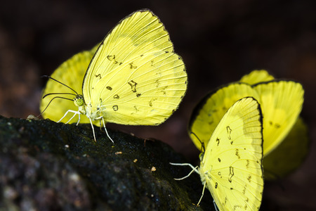 yellow butterflies: Group of yellow butterflies eating the salts and minerals from the soil