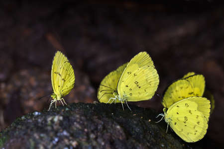 mariposas amarillas: Group of yellow butterflies eating the salts and minerals from the soil