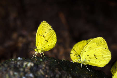 Group of yellow butterflies eating the salts and minerals from the soil