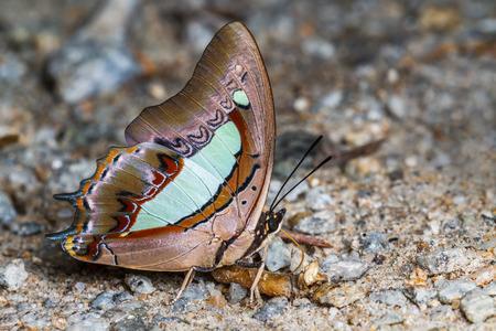 Blue Nawab Butterfly