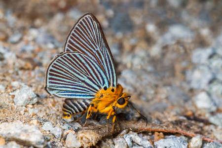 Green-streaked Awlet butterfly