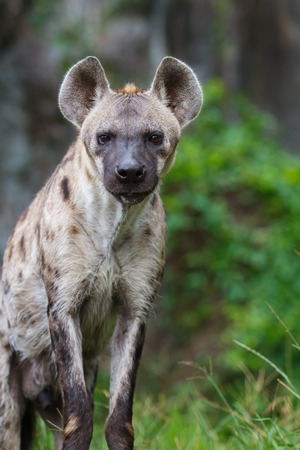 hyena: Spotted Hyena Stock Photo
