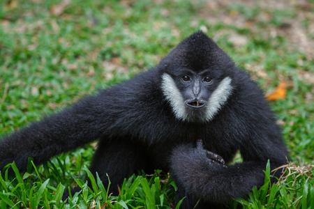 White Cheeked Gibbon Stock Photo
