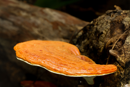 Ganoderma fungus