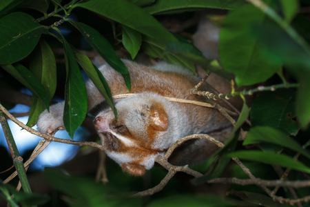 Slow loris sleeping on tree Stock Photo