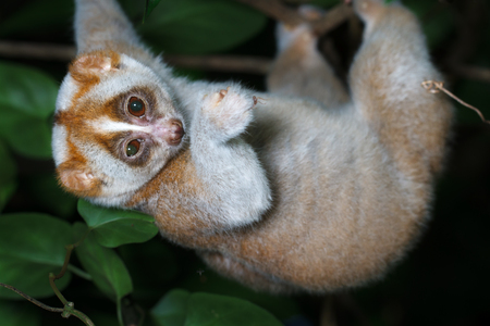 Slow loris on tree