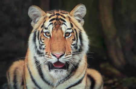Closeup of a bengal tiger