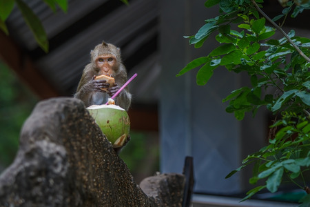 Long-tailed macaque eating a coconut on concrete fence