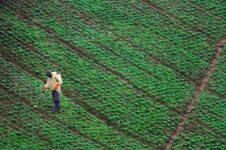 Farmer feeding a pesticides to control insects in cabbage fields