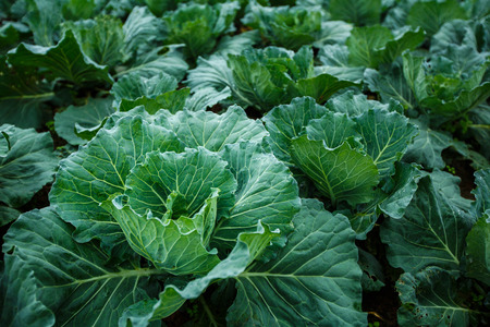 Cabbage in the garden Stock Photo