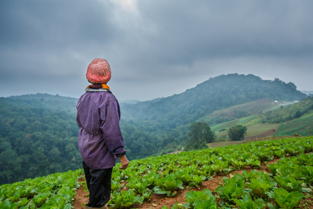 Farmer on cabbage field
