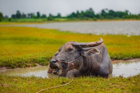 Water buffalo bathing in the pond Stock Photo