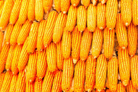 Orange corn stacked in the row