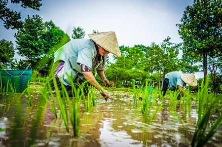 transplant: Transplant rice seedlings in Laos.