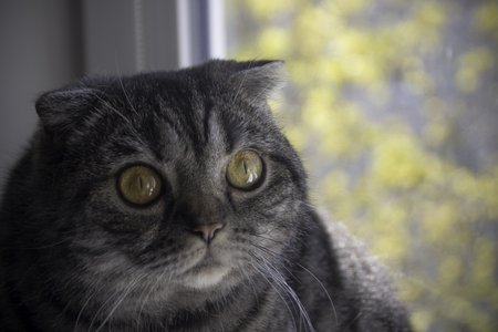 Portrait of surprised yellow eyed Scottish Fold