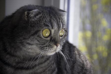 Portrait of yellow eyed Scottish Fold Stock Photo