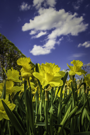 Sunny spring view of beautiful yellow Narcissus flowers against clear blue sky