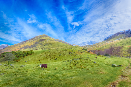 Landscape with a flock of Herdwick sheep grazing near Wast Water, Lake District national park, Cumbria, England