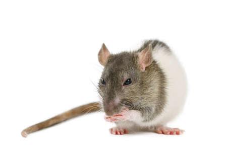 beautiful rat closeup on white background watching. Standard-Bild