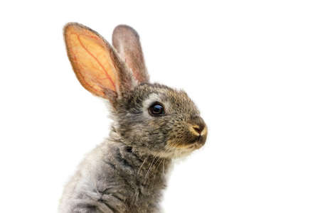 Furry cute rabbit on white background isolated.