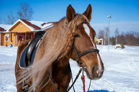 A beautiful brown horse in harness stands outside on a Sunny winter day