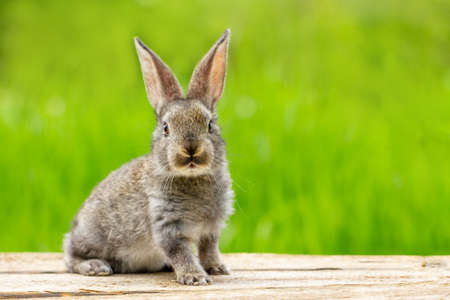 Portrait of a cute fluffy gray rabbit with ears on a natural green background Stockfoto