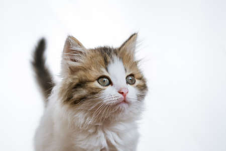 Portrait of a funny fluffy kitten on a white background