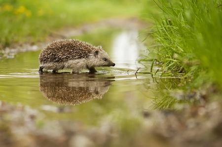 Hedgehog and the water Standard-Bild