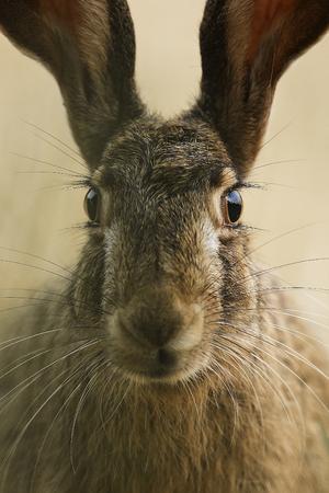 european: european hare Stock Photo