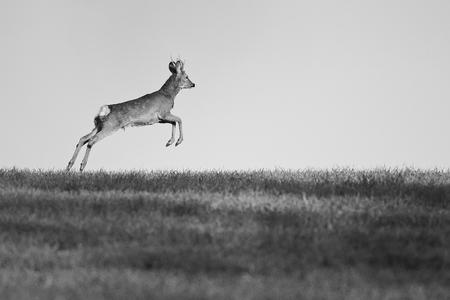 roebuck: European roe buck running in the meadow Stock Photo