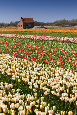 tulips field: Tulips field in Holland