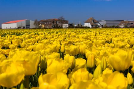 lisse: tulip fields near Keukenhof, Lisse, the Netherlands. Stockfoto