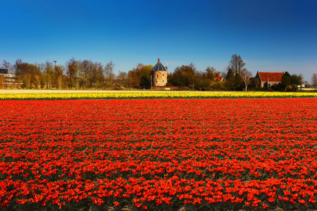 lisse: tulip fields near Keukenhof, Lisse, the Netherlands. Stock Photo